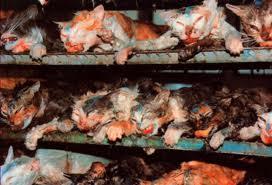 cat killed